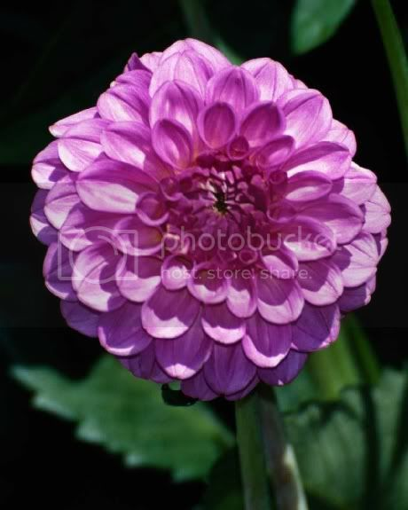 Zinnia